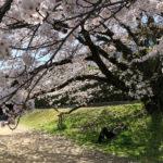 SWL的、京都お花見案内